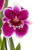 цветок цветет орхидеи орхидеи miltonia Стоковая Фотография