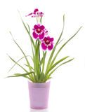 цветок цветет пинк орхидей орхидеи miltonia Стоковые Изображения RF