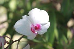 цветок цветет phalaenopsis орхидей орхидеи Стоковые Изображения RF