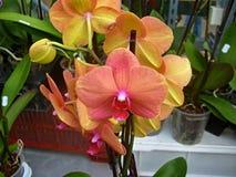 цветок цветет phalaenopsis орхидей орхидеи Стоковое Фото