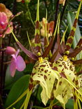 цветок цветет phalaenopsis орхидей орхидеи Стоковая Фотография RF