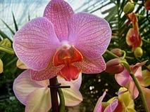 цветок цветет phalaenopsis орхидей орхидеи Стоковые Изображения