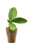 цветок цветет phalaenopsis орхидей орхидеи Стоковое Изображение