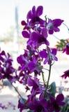 цветок цветет phalaenopsis орхидей орхидеи Стоковые Фотографии RF
