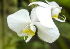 цветок цветет phalaenopsis орхидей орхидеи Стоковое фото RF