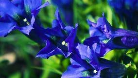 Цветок цветка горечавки Gentiana акции видеоматериалы