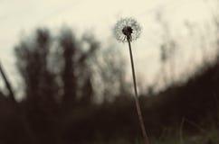 Цветок цикория Стоковая Фотография RF