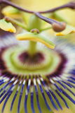 Цветок часов Стоковое фото RF