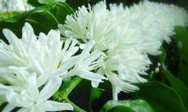 Цветок чая Стоковое Фото