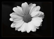 Цветок черно-белый стоковое изображение rf