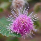 Цветок чувствительного завода, pudica мимозы Стоковая Фотография RF