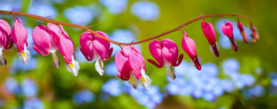 Цветок чуткого человека (spectabilis Dicentra) Стоковое Изображение RF