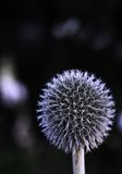цветок шарика стоковые фото