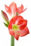 цветок шариков цветет hippeastrum Стоковое Изображение RF