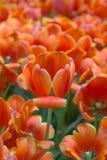 Цветок шарлаха Стоковое Фото