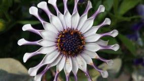цветок шикарный Стоковое фото RF