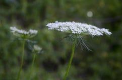 Цветок шнурка ` s ферзя Энн Стоковые Фото