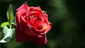 Цветок шоколада розовый Стоковая Фотография