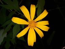 Цветок Шри-Ланка природы красивый желтый стоковые изображения