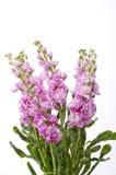 Цветок штока Стоковое Изображение