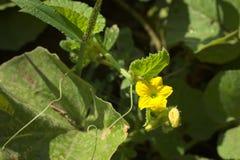 Цветок дыни Стоковое фото RF