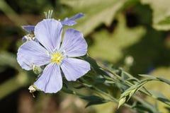 Цветок льна Стоковые Фото