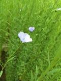 Цветок льна (usitatissimum Linum) Стоковое Изображение RF