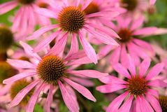 Цветок эхинацеи в саде стоковое фото rf