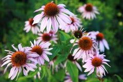 Цветок эхинацеи Стоковые Изображения