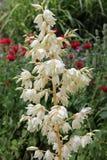 Цветок юкки Стоковые Изображения RF