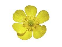 цветок лютика Стоковые Изображения RF