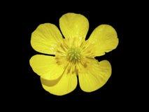цветок лютика Стоковое Изображение RF