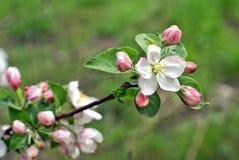 цветок яблока Стоковое фото RF