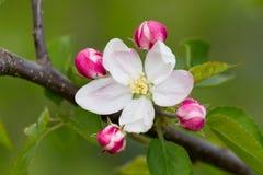 цветок яблока Стоковые Изображения