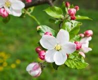 цветок яблока Стоковые Фото