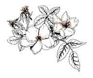 Цветок Яблока в цветении Ботаническая иллюстрация вектора Стоковая Фотография