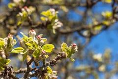 Цветок Яблока Плодоовощ весной Расти и продавать яблока Стоковые Изображения RF