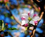 Цветок яблони стоковые изображения
