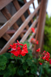 цветок япония Стоковые Изображения RF