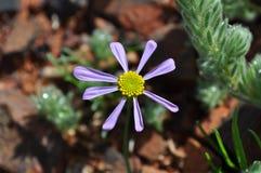 Цветок яркого purle mauve и желтый Стоковая Фотография