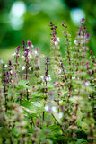 Цветок для базилика swett стоковая фотография rf