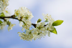 цветок 1 Apple-вала Стоковое Фото