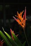 Цветок 2 Heliconia Стоковые Фотографии RF