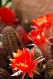 цветок 3 кактусов Стоковое фото RF