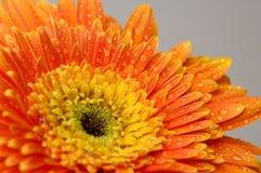 Цветок 3 маргаритки стоковые изображения rf