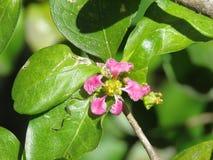 Цветок Acerola Стоковые Изображения RF