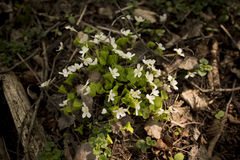 Цветок acetosella Oxalis Стоковые Фото