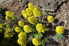 Цветок Aeonium Стоковые Фото