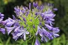Цветок Agapanthus стоковые изображения rf