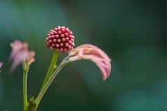 Цветок albizia в предыдущем половом созревании Стоковые Фото